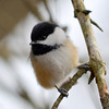 DSC_3079 Chickadee Mar 18 2013