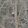 DSC_3518 Bald Eagle Mar 28 2013
