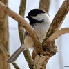 DSC_3426 Chickadee Mar 26 2013