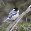 DSC_2952 Chickadee Mar 15 2013