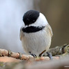 DSC_3428 Chickadee Mar 26 2013