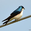 DSC_9223 Tree Swallow May 19 2013