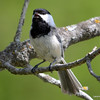 DSC_9201 Chickadee May 19 2013