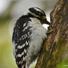 DSC_9556 Downy Woodpecker May 26 2013