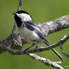 DSC_9199 Chickadee May 19 2013