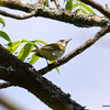 DSC_9779 Red-eyed Vireo May 30 2013