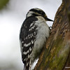 DSC_9554 Downy Woodpecker May 26 2013
