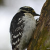 DSC_9555 Downy Woodpecker May 26 2013