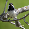 DSC_9200 Chickadee May 19 2013