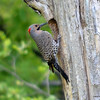 DSC_9717 Northern Flicker May 30 2013