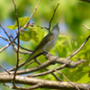 DSC_9777 Red-eyed Vireo May 30 2013