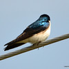 DSC_9222 Tree Swallow May 19 2013