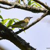 DSC_9780 Red-eyed Vireo May 30 2013