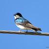 DSC_8012 Tree Swallow May 7 2013