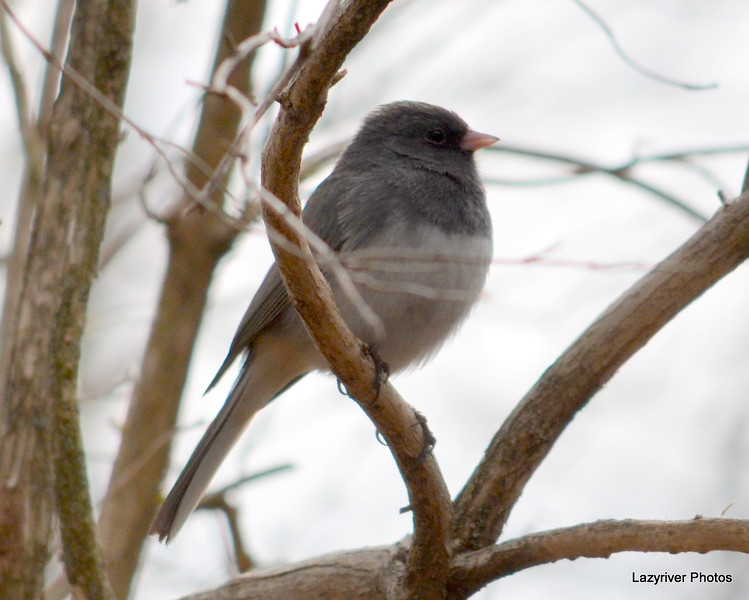 DSC_6075 Junco Apr 23 2013