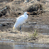 DSC_6400 Great Egret Apr 25 2013