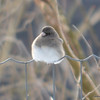 C_5742 Junco Jan 3 2012