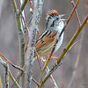 DSC_7231 Swamp Sparrow Apr 29 2013
