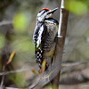 DSC_7706 Yellow-bellied Sapsucker May 3 2013