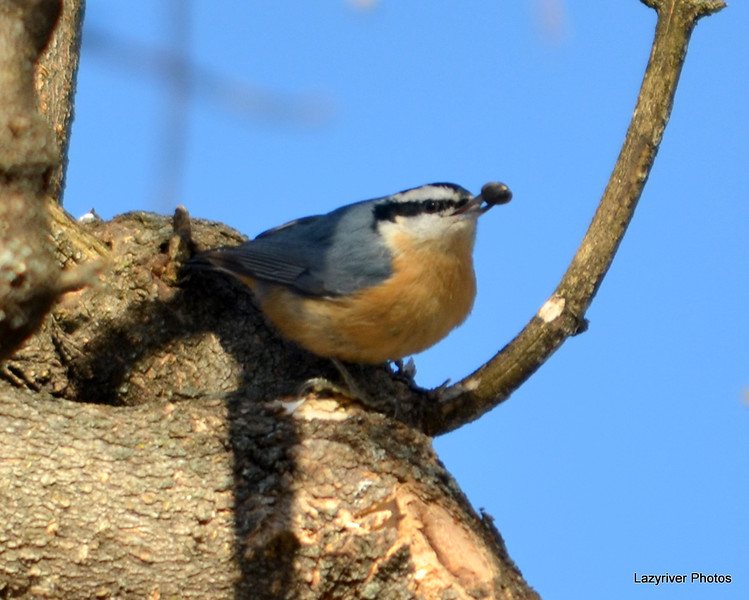 DSC_0634 Red-breasted Nuthatch Jan 27 2013