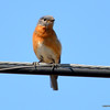 DSC_7947 Eastern Bluebird May 5 2013