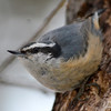 DSC_2295 Red-breasted Nuthatch Feb 27 2013