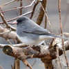 DSC_5047 Junco Apr 14 2013