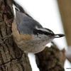 DSC_2290 Red-breasted Nuthatch Feb 27 2013