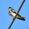 DSC_8013 Tree Swallow May 7 2013