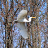 DSC_6664 Great Egret Apr 26 2013