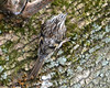 FSC_0680 Brown Creeper Nov 17 2013