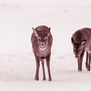 Three hungry deer