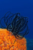 37 -Black and White Crinoid -Bob Crowe - ACCEPTED