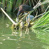 Green Heron got his t