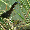 Green Heron has a long neck