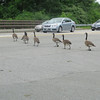 Make way for the Canadian Geese