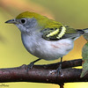 The chestnut-sided warbler