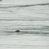 A leapard seal swims in the ice-lagoon