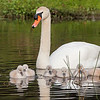 Mute Swan Out and About with Chicks