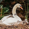 Mute Swan Female with Chicks
