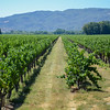 Vineyard just South of Ukiah. (Nathan DeHart-Ukiah Dialy Journal)