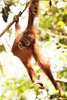 A baby orangutan swings happily from a branch overlooking a creek bottom.