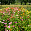 Beautiful field of mum flowers
