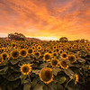 """The sunflower field. Low flowers, tall flowers, and lots of empty space :( Not good for doing my """"field of flowers"""" shot"""