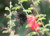 Pipevine Swallotail on Fairyduster