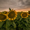 Sunflower field on a gorgeous stormy evening in Vacaville<br /> <br /> The sunflowers are propped up ... especially the 2 on the right.