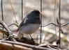 DSC_2309 Dark-eyed Junco Apr 17 2014