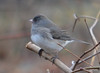 DSC_2856 Dark-eyed Junco Apr 27 2014