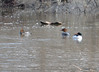 DSC_2275 Common Mergansers Apr 17 2014