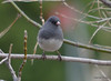 DSC_2855 Dark-eyed Junco Apr 27 2014